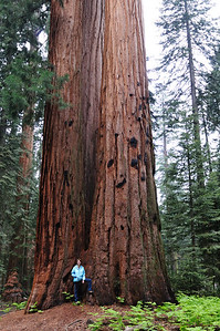 Multiple Sequoia trees growing together
