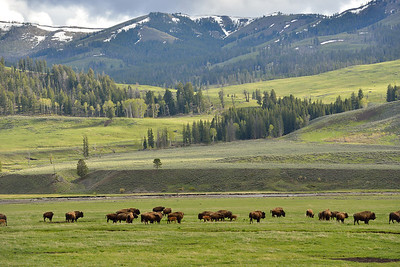 Bison in Lamar Valley